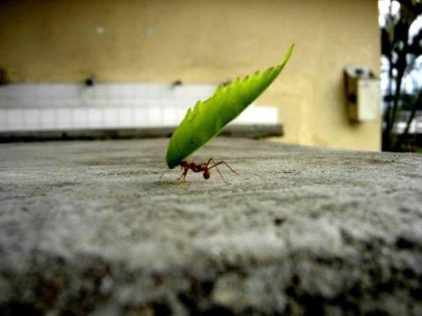 mrav-nosi-teret