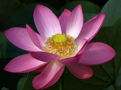 buddhist-symbol-pink-lotus-flower